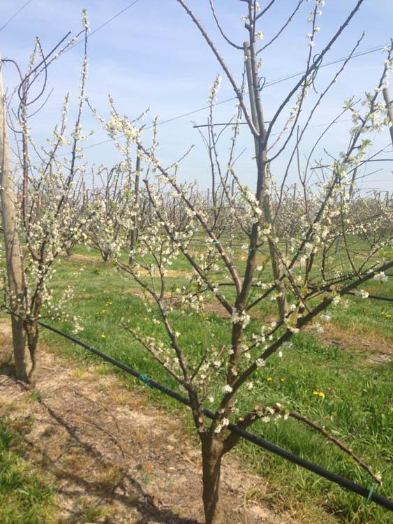 Azienda agricola rossi roberta produzione e vendita di for Vendita alberi da frutto adulti
