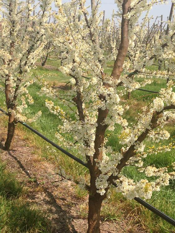 Azienda agricola rossi roberta produzione e vendita di for Alberi frutta vendita