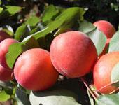 albicocche pinkot